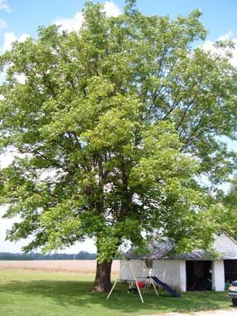 pecan tree in summer