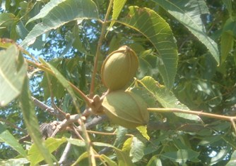 pecans-on-tree-in-august