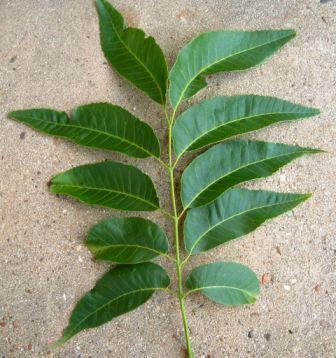 pecan leaf