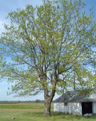 pecan tree in spring