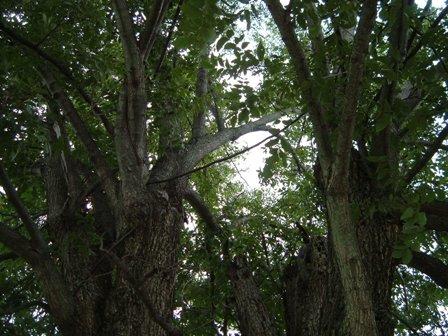 pecan tree canopy