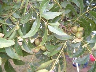 few pecans on tree