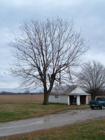 pecan tree in winter